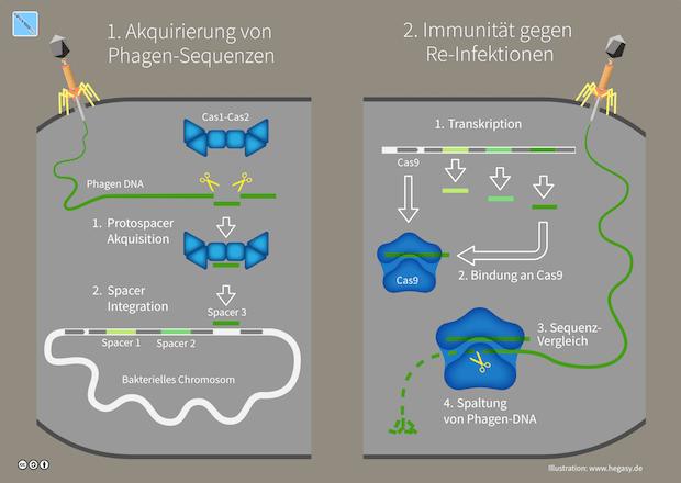 Der CRISPR Gen-Locus verleiht Bakterien adaptive Immunität gegen wiederholte Phageninfektionen.