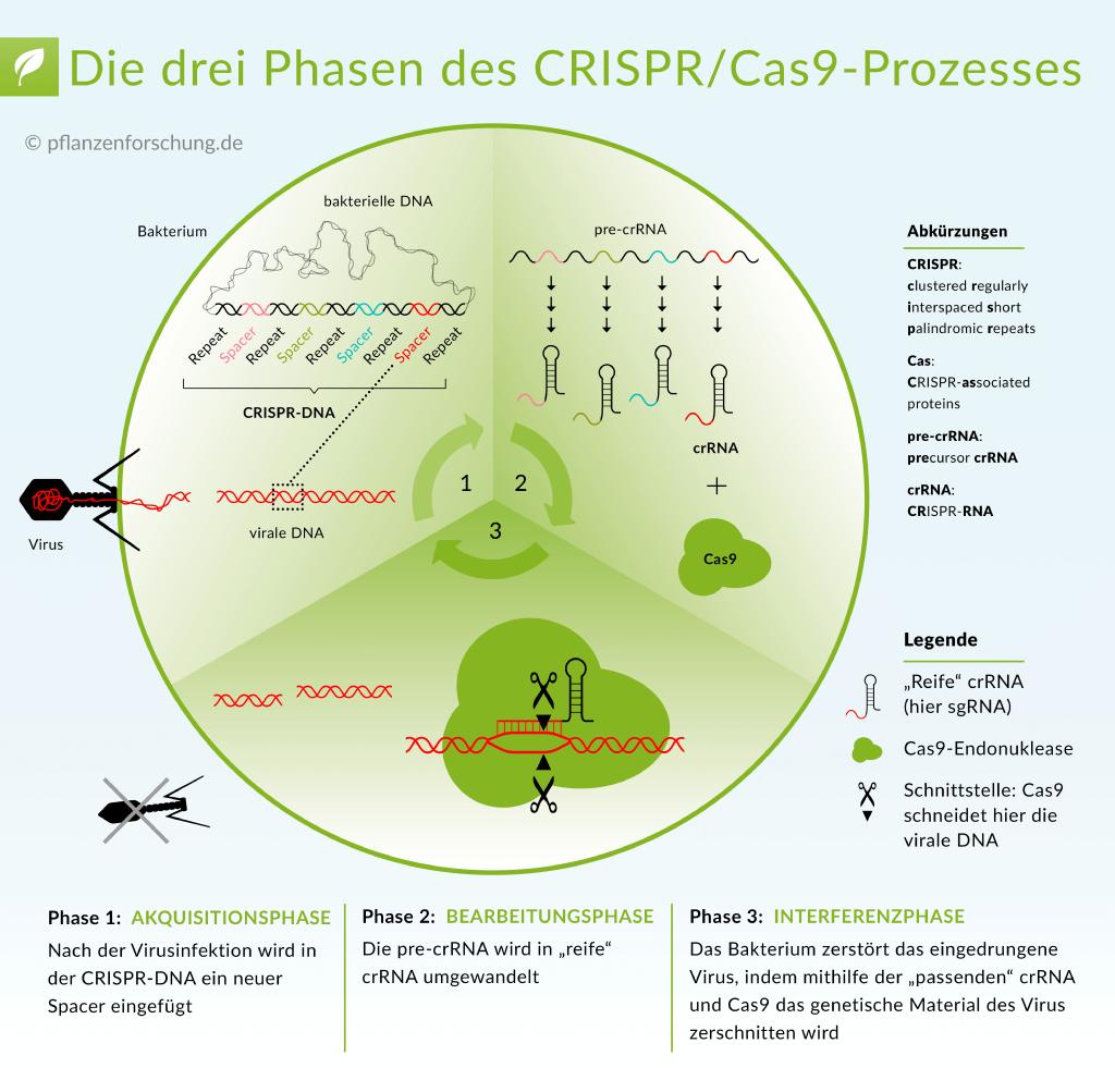 CRISPR/Cas9 Prozess. Pflanzenforschung. Genschere
