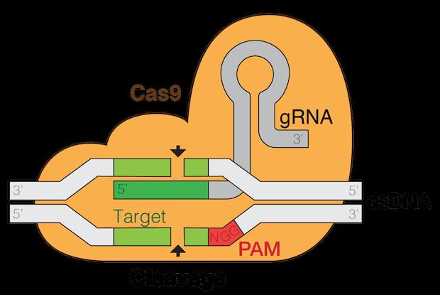 CAS9 - genome editing